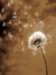 fleur-de-pissenlit-magie-inspiration
