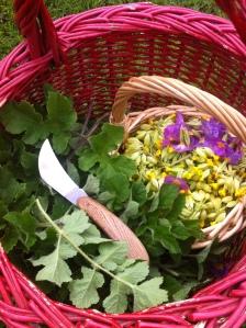berce-plante-recette-cueillette-sauvage