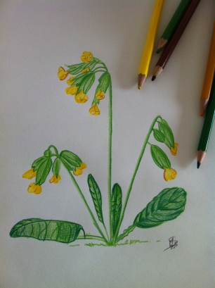 coucou-primevère-crayon-dessin-nature
