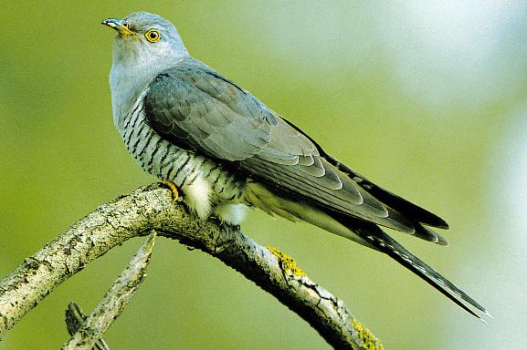 coucou-gris-chant-des-oiseaux